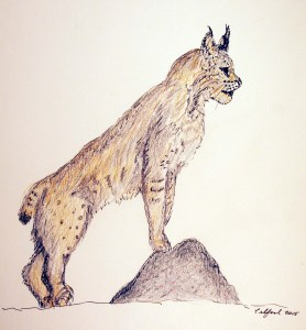 The author's rapid sketch of a bobcat (Lynx rufus) spotted outside his study window.  Copyright: Richard Telford, 2015
